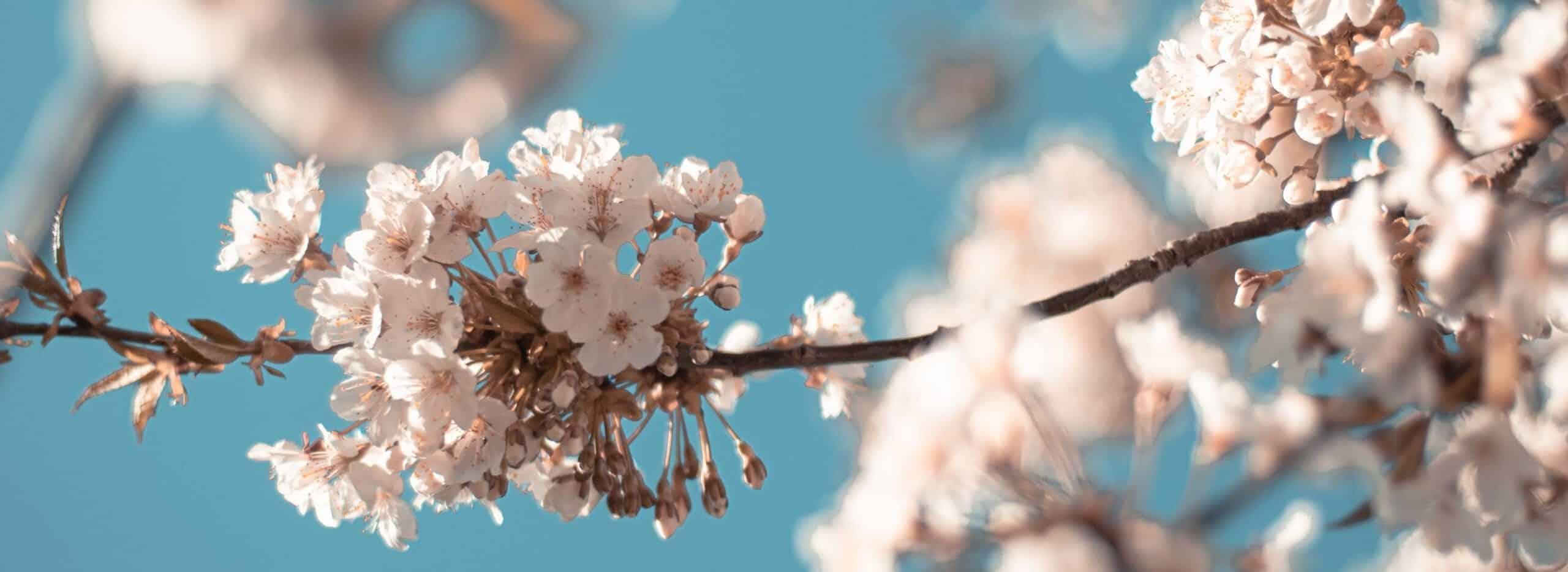 Kirschbaumblüten am Bergbauernhof Unterholzhof